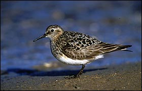 A Baird's Sandpiper, the subject of my efforts, takes a rest after its long journey north